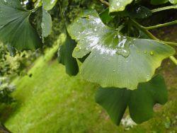 A Ginkgo leaf