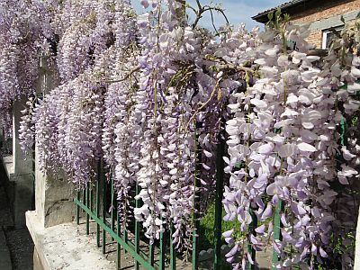 Wisteria climbing over a fence